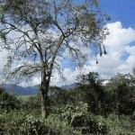 Bolivian tree